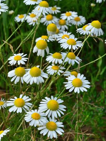 matricaria recutita: Fiori di camomilla in campo - pianta medicinale Matricaria recutita. Archivio Fotografico