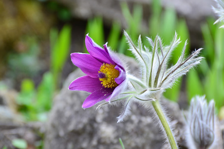 pulsatilla: Pasqueflower closeup - Pulsatilla vulgaris, a beautiful, purple wildflower with deep yellow center.