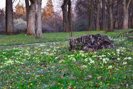 deciduous woodland: Wild primroses (primula) in a deciduous woodland area at sunset. Stock Photo