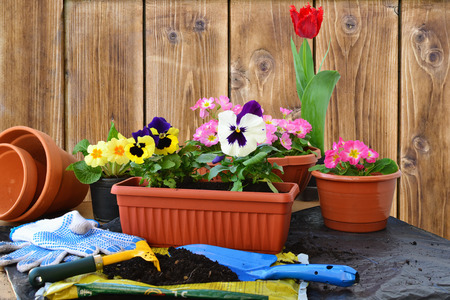 Planting flowers. Spring flowers in pots and containers. photo