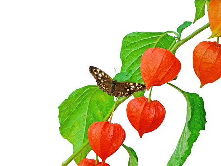 speckled wood: Chinese Lantern (Physalis Alkekengi)  branch with Speckled Wood butterfly (Pararge aegeria) isolated on white.