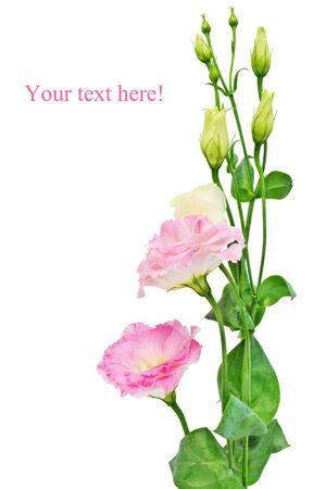 Pink Eustoma  Lisianthus  flower isolated on white background  photo