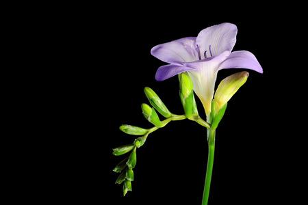 freesia: Purple freesia flower on black background. Stock Photo