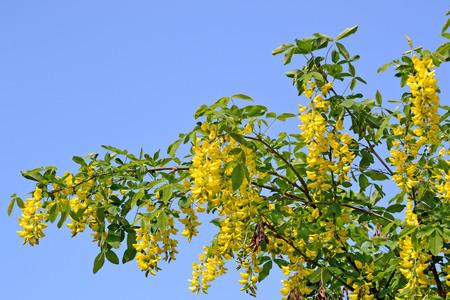Laburnum tree in bloom golden chain tree branches with yellow laburnum tree in bloom golden chain tree branches with yellow flowers and seed pods mightylinksfo