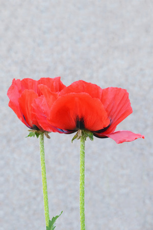 oriental poppy: Two red oriental poppy flowers  (Papaver orientale). Stock Photo