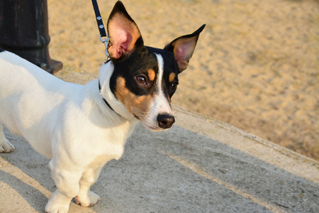 inquiring: Alert fox terrier dog with an inquiring expression on his face on the promenade at sunset. Stock Photo