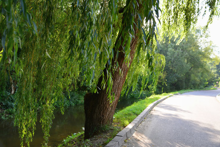 willows: Weeping willows along the stream near the driveway.