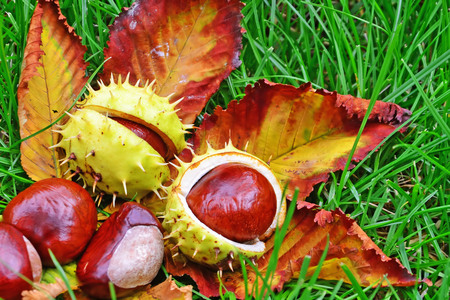 Horse-chestnut conkers in the grass. Aesculus hippocastanum fruits. Stockfoto