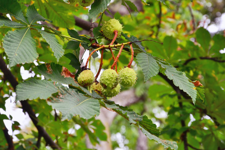 conkers: Horse-chestnut tree branch with conkers. Aesculus hippocastanum fruits. Stock Photo