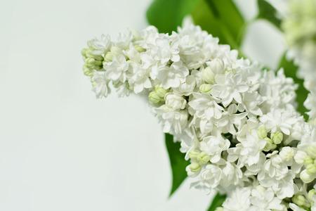 Lilac flower isolated on white background syringa vulgaris stock 50964038 white lilac flower closeup mightylinksfo