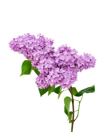 Flor de la lila aislada en el fondo blanco - Syringa vulgaris