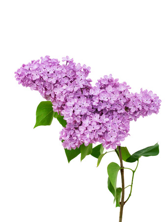Lilac flower isolated on white background - Syringa vulgaris
