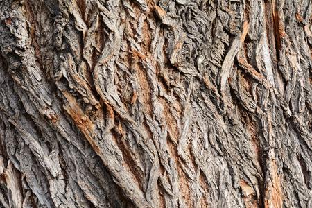 salix alba: Tree bark texture, white willow (Salix alba) bark texture Stock Photo