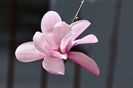 magnolia soulangeana: Pink magnolia closeup - Magnolia ? soulangeana