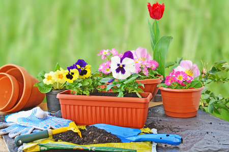 work gloves: Planting flowers, flower pots, potting soil, trowel, work gloves and plants on a table outdoors.