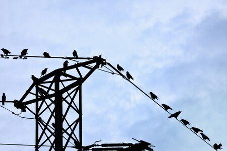 corvus: Rook (Corvus frugilegus) perched on power lines tower Stock Photo