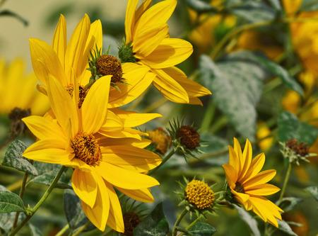 Maximillian sunflower (Helianthus Maximiliani) closeup