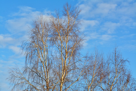 Silver birch tree bare branches against the blue sky on a sunny winter afternoon Stock Photo