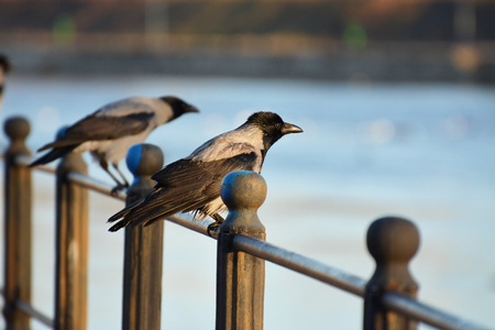 Hooded crows resting on an iron railing near the river, shallow dof Stock Photo