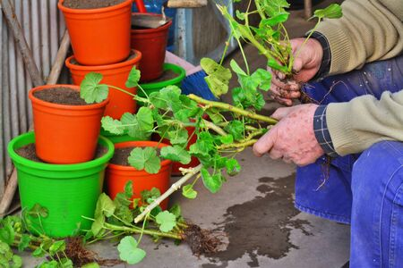 Gardener propagates geraniums from cuttings in spring. Elderly man hands holding geranium seedlings ready to be plated into pots.