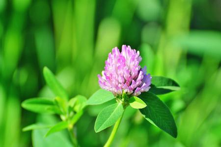 Red clover flower closeup (Trifolium pratense) Stock Photo