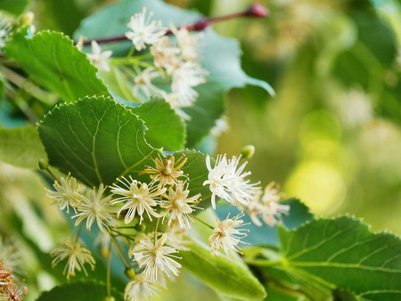 Linden tree flowers on tree branches