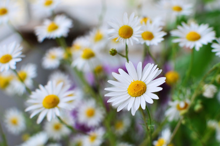 Field of daisy camomile flowers shallow dof Stockfoto