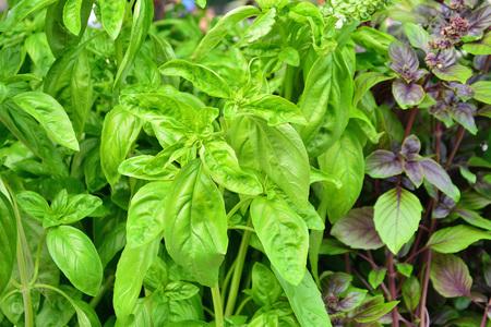 Green and purple basil plants in the garden (Ocimum basilicum) Stock Photo