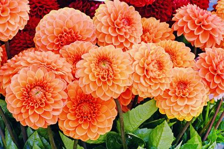 Dalia naranja flores Foto de archivo - 85942118
