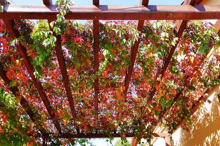 Weinlesekriechpflanzenherbstlaub und -beeren, die eine hölzerne Pergola bedecken, die an einer Hausmauer befestigt wird (Parthenocissus quinquefolia) Standard-Bild - 88139928