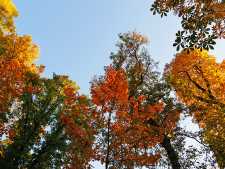 Golden treetops in autumn, colorful tree canopy against the blue sky. Stock Photo