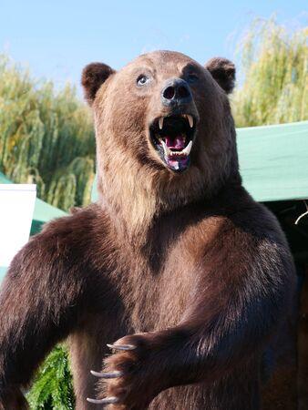 Véritable ours brun des Carpates en peluche (Ursus arctos) exposé. Taxidermie montrant le haut du corps de l'ours