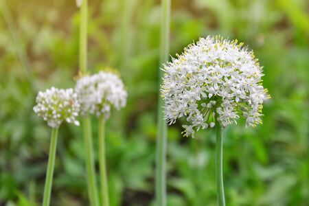 White onion flowers. Blooming onion (allium) plant in the garden. Фото со стока