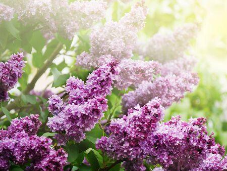 Lilac flowers blooming on tree branches. Purple Syringa vulgaris bush.