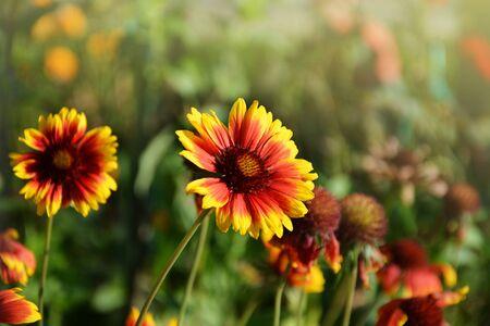 Blanket flower (Gaillardia) flowers blooming