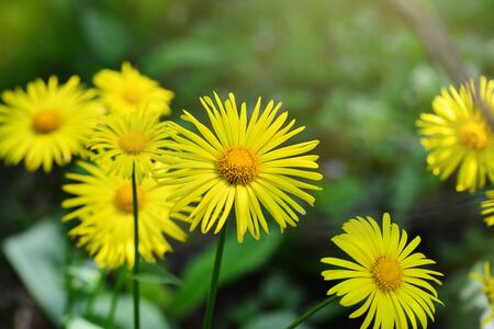 Close-up of Doronicum orientale or leopard's bane with bright yellow flowers. Decorative flowering plant in the garden. Фото со стока