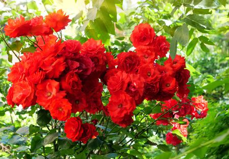 Red climbing roses in the garden Фото со стока