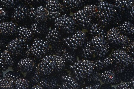 Fresh berries of a blackberry photographed as a background
