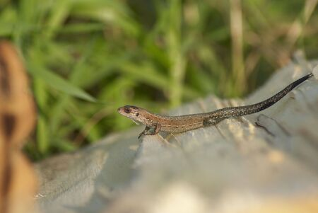 Close up of a lizard stood in the guarded pose Stock Photo