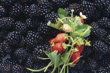 Cluster of berries of wild strawberry against blackberry berries