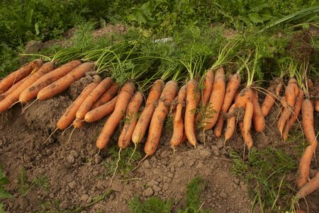 Heap of carrots on a bed Stock Photo
