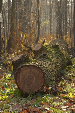 The trunk of the old cut tree lays on among wood