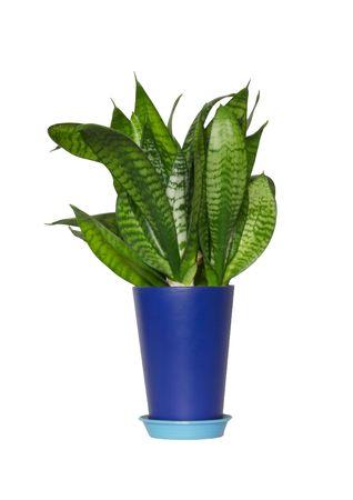 Flower sansivera in a dark blue pot on a white background