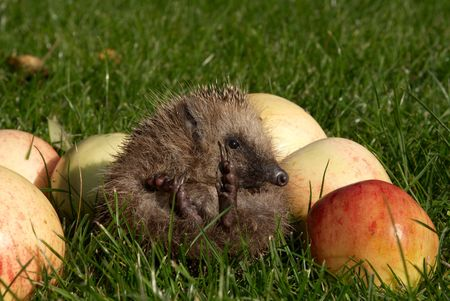 Hedgehog on a green grass in an environment of ripe apples