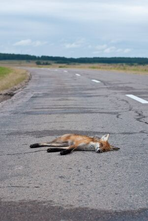 fox hit by a car on the road