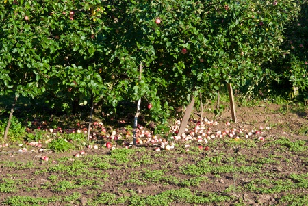 apples on tree branches and on the ground