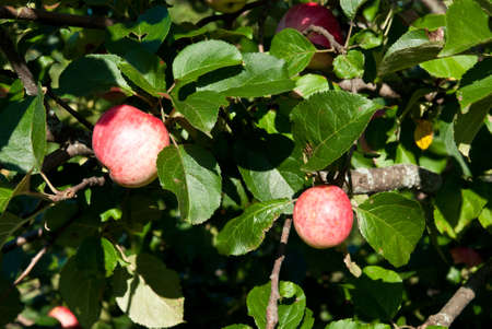 two apples on the tree Stock Photo - 11918559