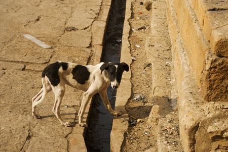 underweight: Underweight stray dog crossing a gutter