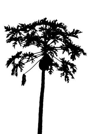 papaya tree: silhouette papaya tree Stock Photo