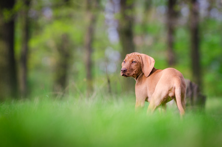 hungarian pointer: puppy of Hungarian hound dog vizsla Stock Photo